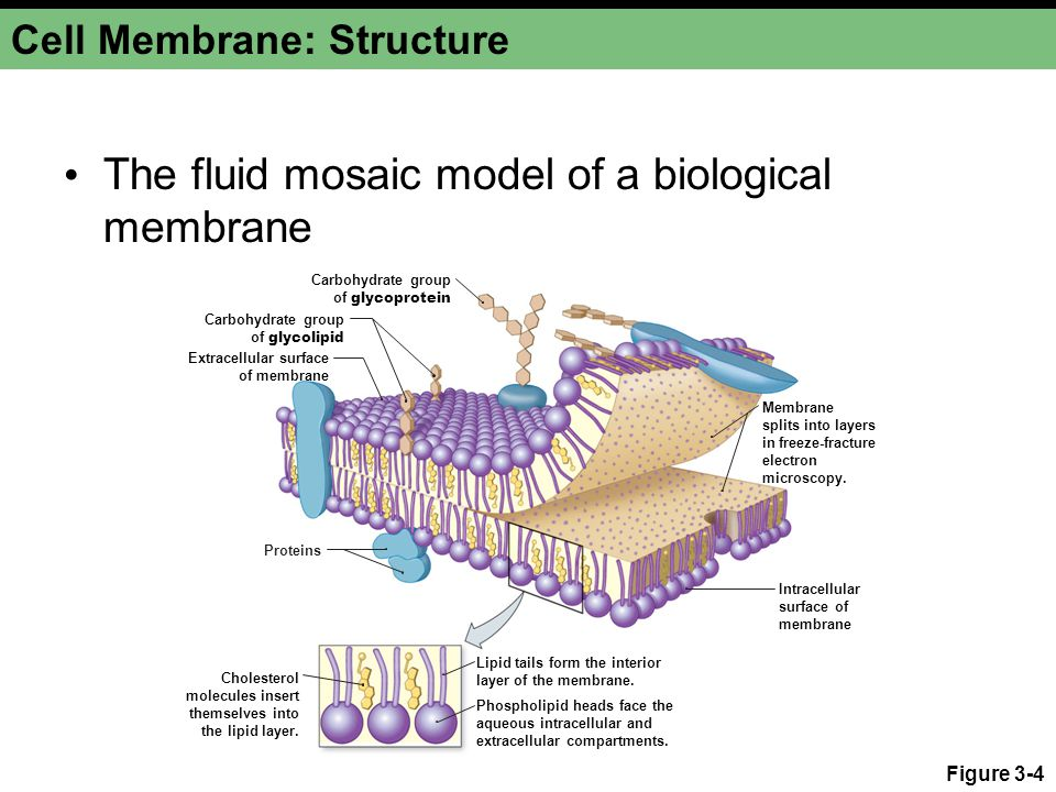 Cell Membrane: Structure