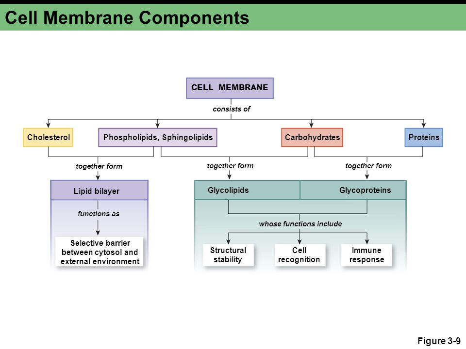 Cell Membrane Components