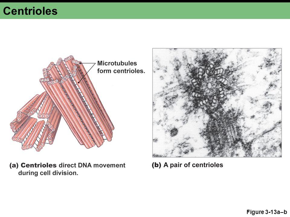 Centrioles Figure 3-13a–b