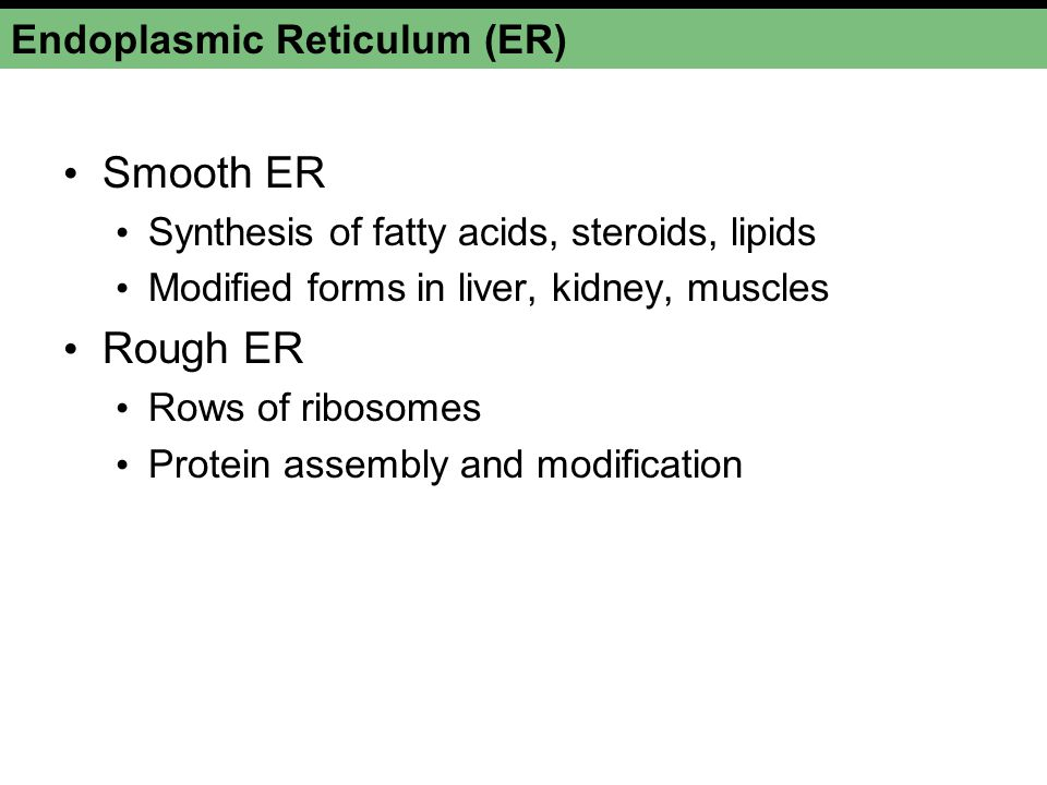 smooth endoplasmic reticulum synthesises Biology notes - free download as word doc  smooth endoplasmic reticulum  which organelle synthesises lipids.