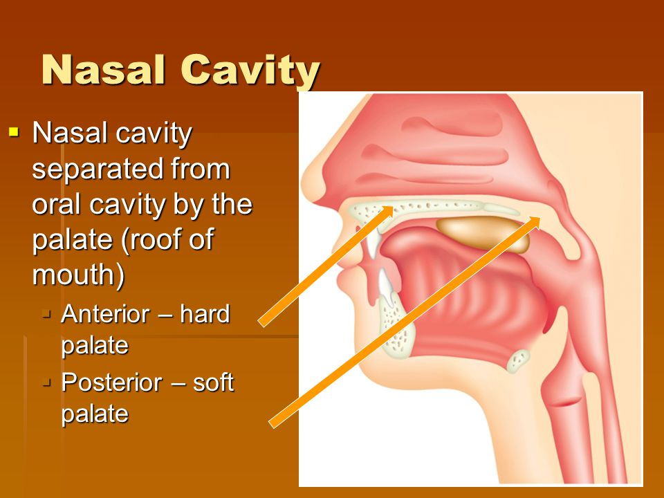 Nasal Cavity Nasal cavity separated from oral cavity by the palate (roof of mouth) Anterior – hard palate.