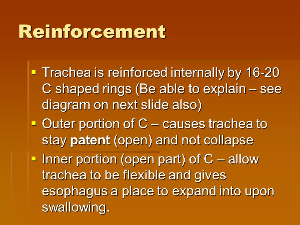 Reinforcement Trachea is reinforced internally by 16-20 C shaped rings (Be able to explain – see diagram on next slide also)