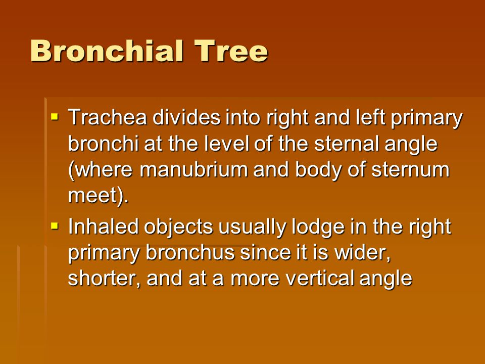 Bronchial Tree Trachea divides into right and left primary bronchi at the level of the sternal angle (where manubrium and body of sternum meet).