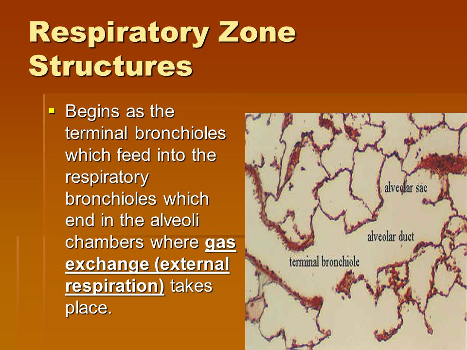 Respiratory Zone Structures