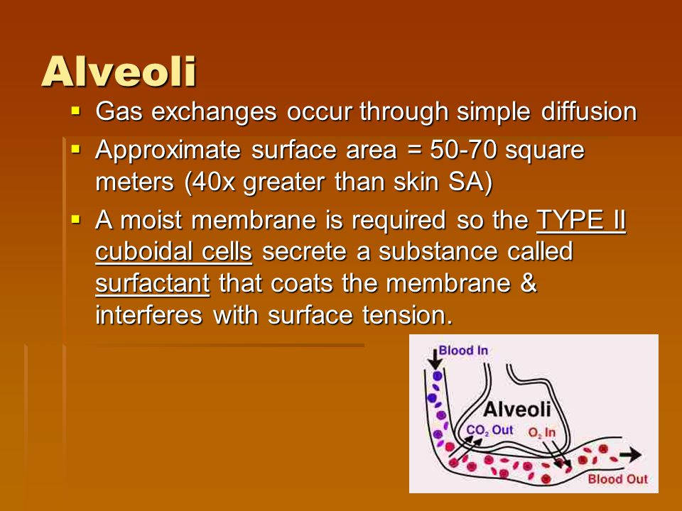 Alveoli Gas exchanges occur through simple diffusion