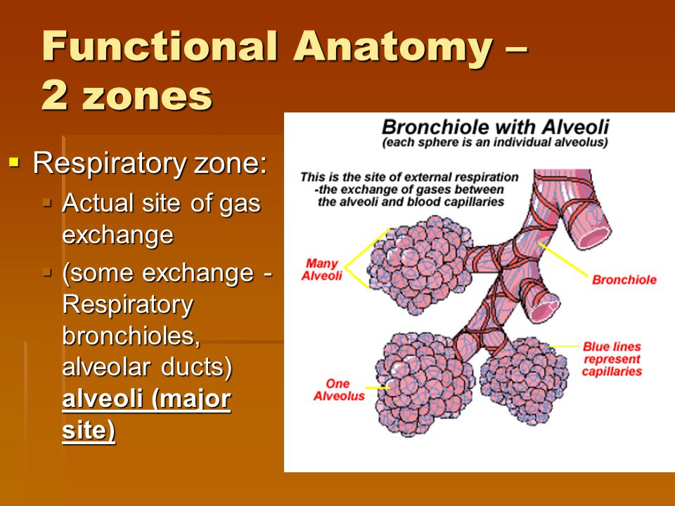 Functional Anatomy – 2 zones