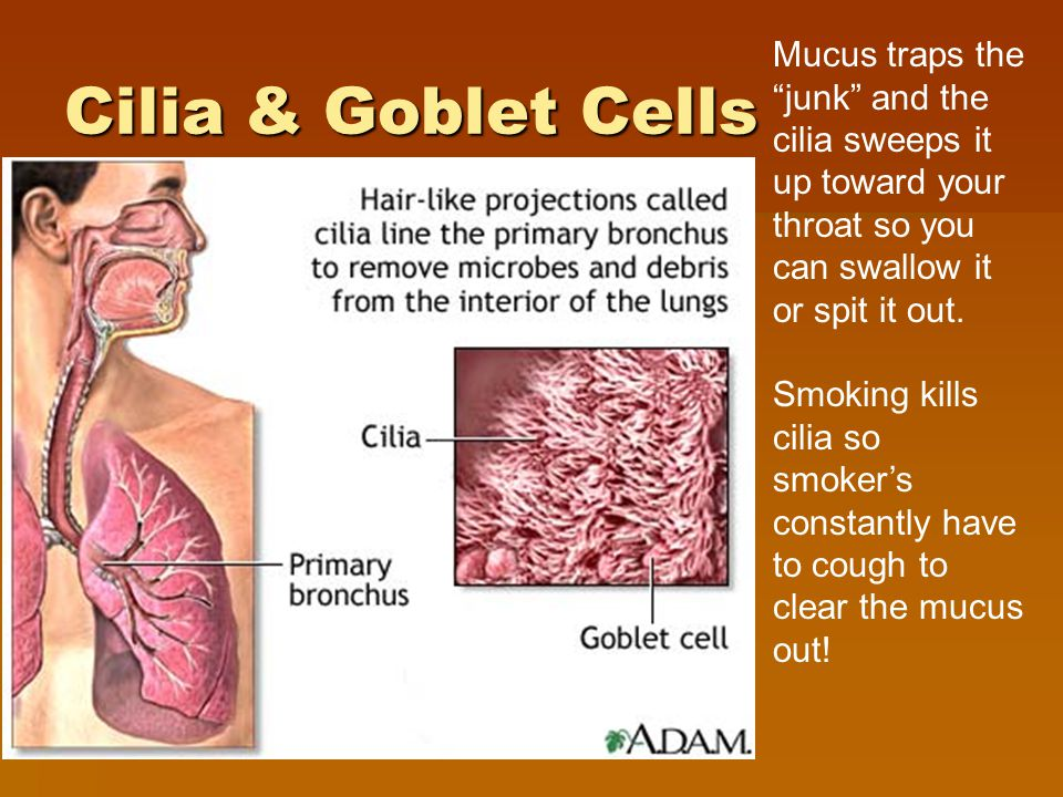 Cilia & Goblet Cells Mucus traps the junk and the cilia sweeps it up toward your throat so you can swallow it or spit it out.