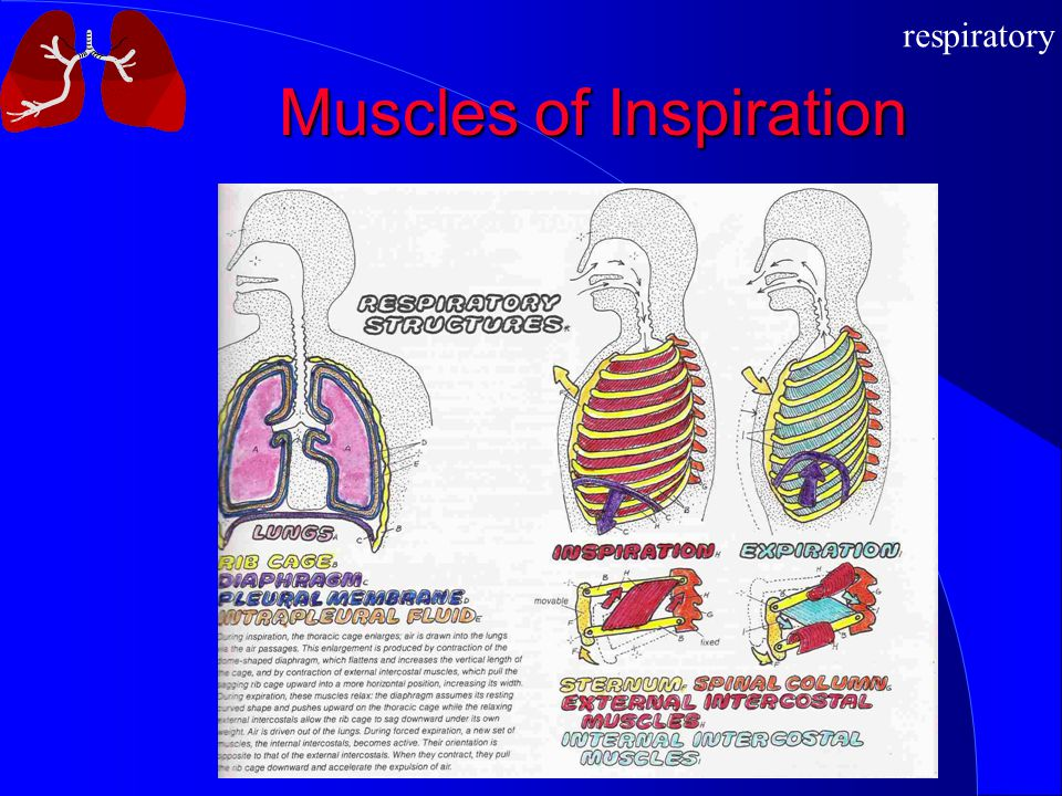 Muscles of Inspiration