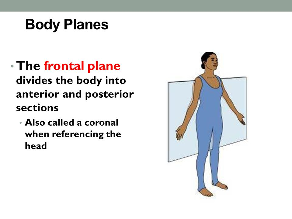 Body Planes The frontal plane divides the body into anterior and posterior sections.