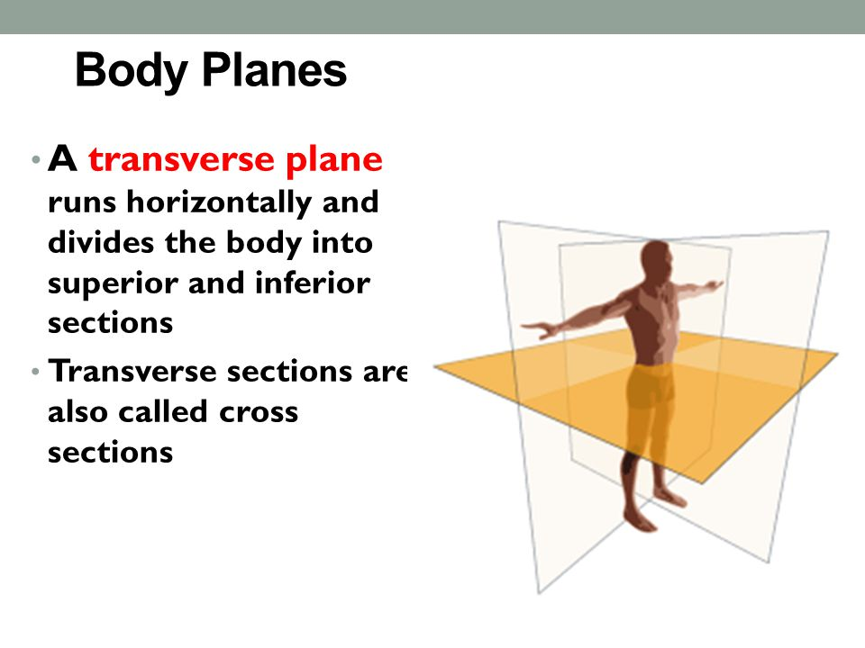 Body Planes A transverse plane runs horizontally and divides the body into superior and inferior sections.