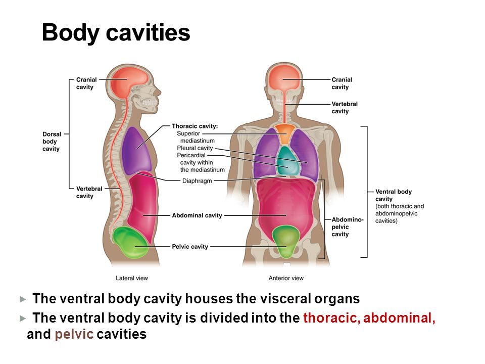 Body cavities The ventral body cavity houses the visceral organs