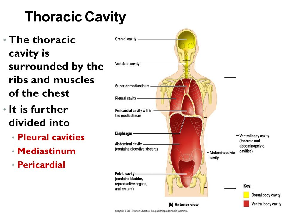 Thoracic Cavity The thoracic cavity is surrounded by the ribs and muscles of the chest. It is further divided into.