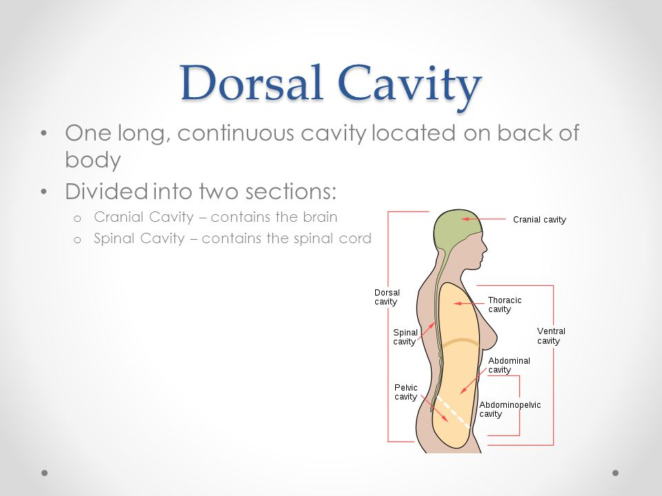Dorsal Cavity One long, continuous cavity located on back of body