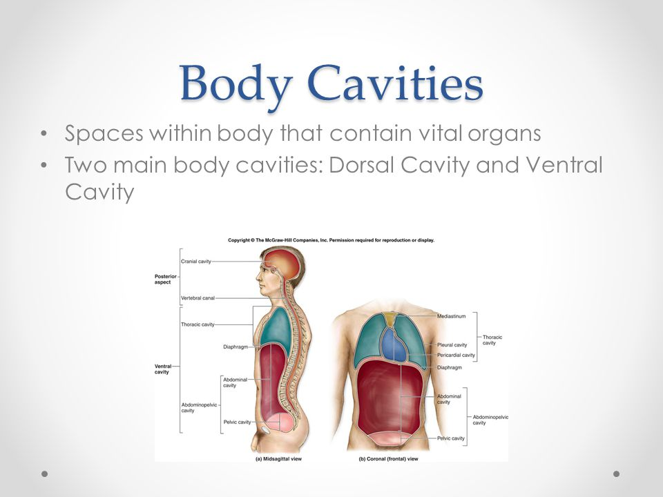 Body Cavities Spaces within body that contain vital organs