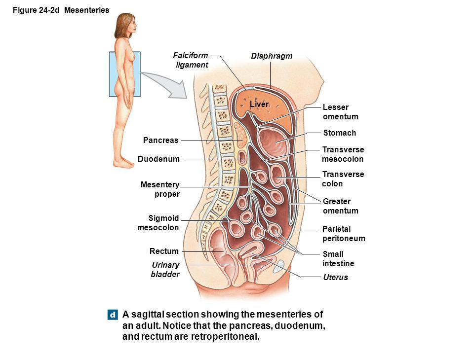 Figure 24-2d Mesenteries Falciform ligament. Diaphragm. Liver. Lesser omentum. Stomach. Pancreas.