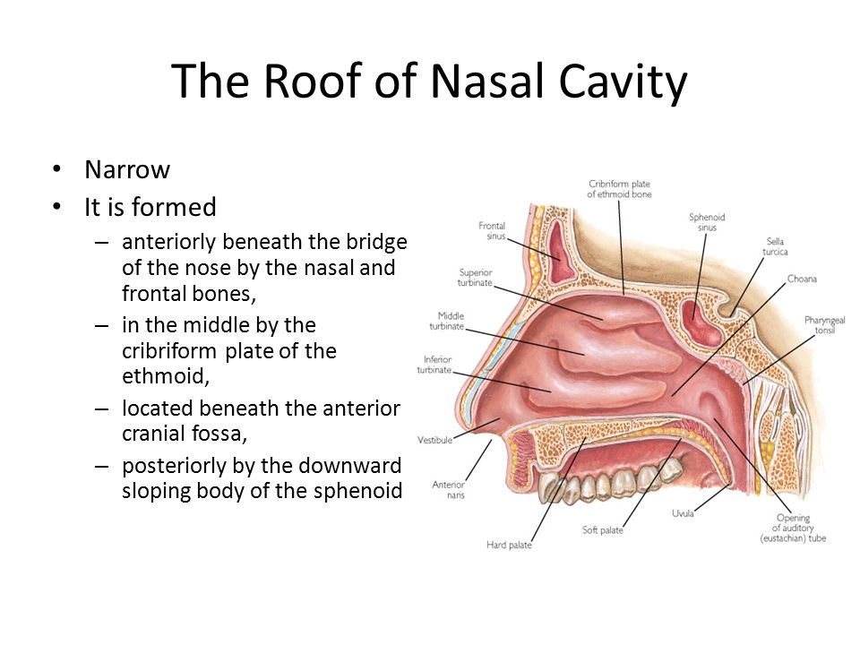 The Roof of Nasal Cavity