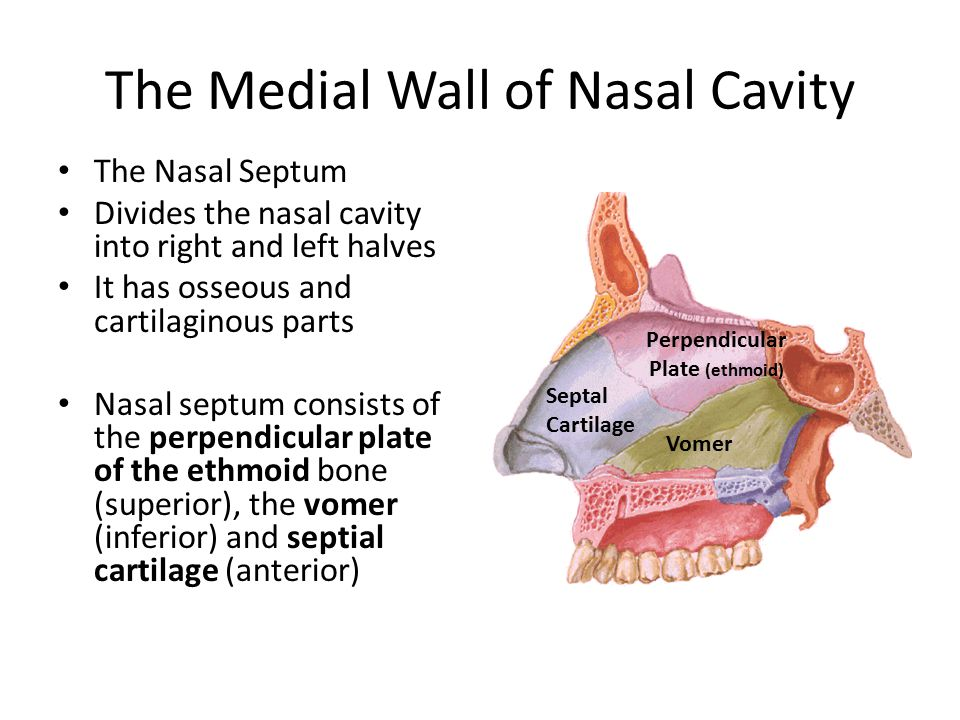The Medial Wall of Nasal Cavity