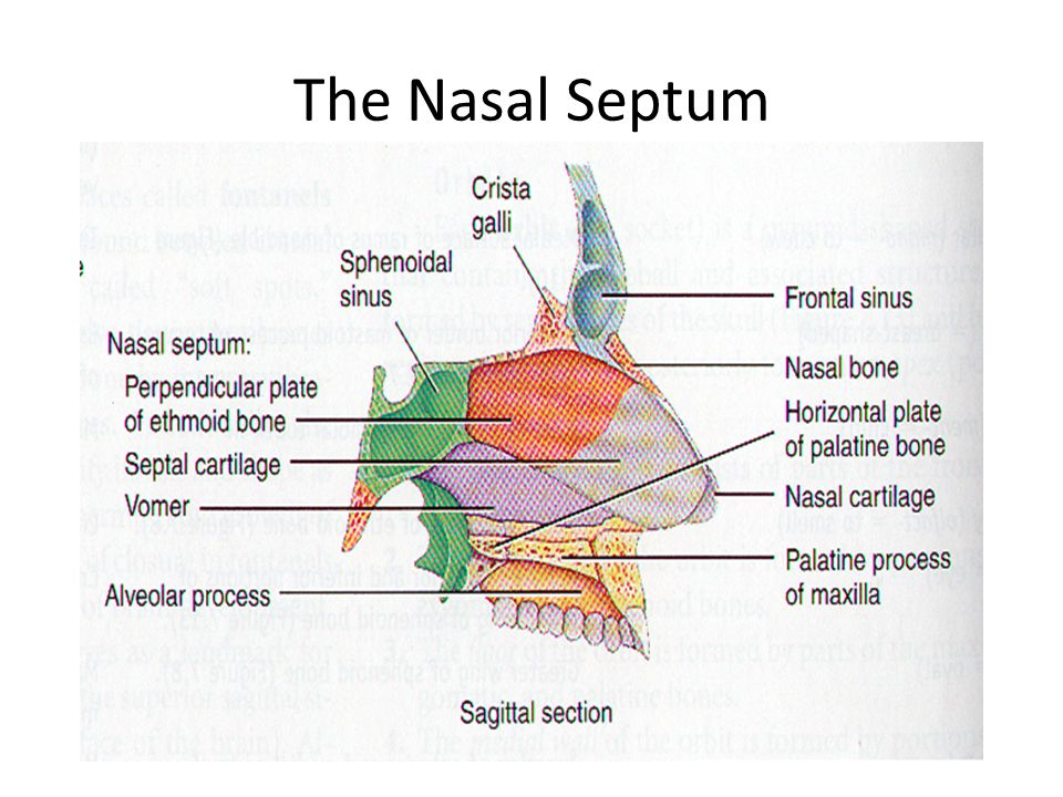 Anatomy nasal septum