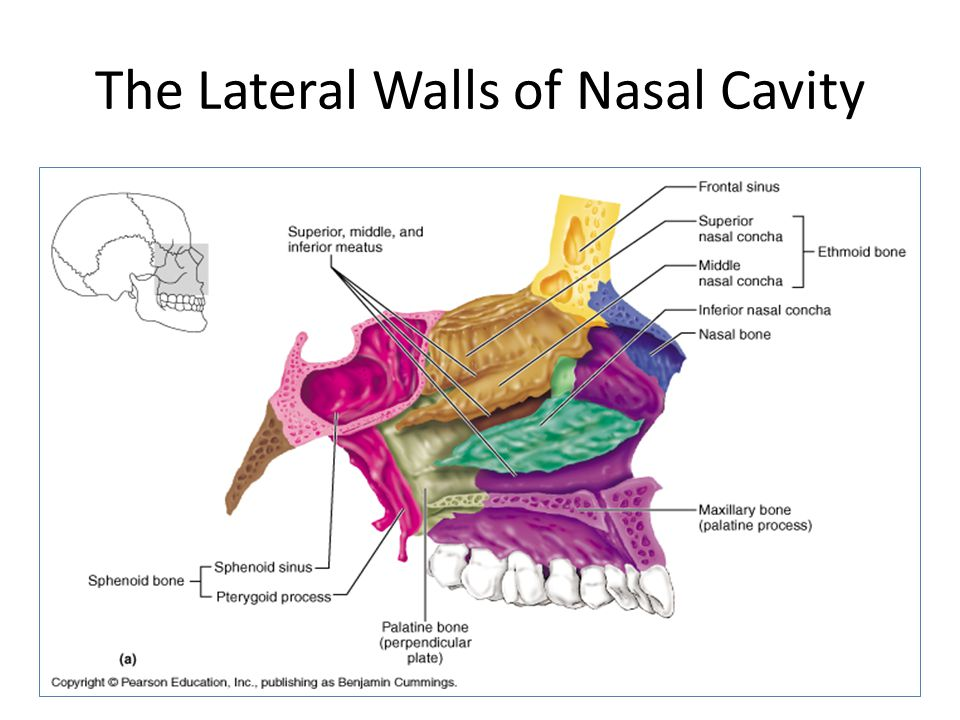 The Lateral Walls of Nasal Cavity