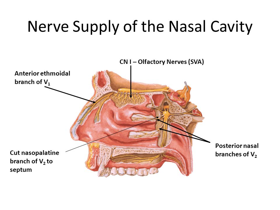 Nerve Supply of the Nasal Cavity