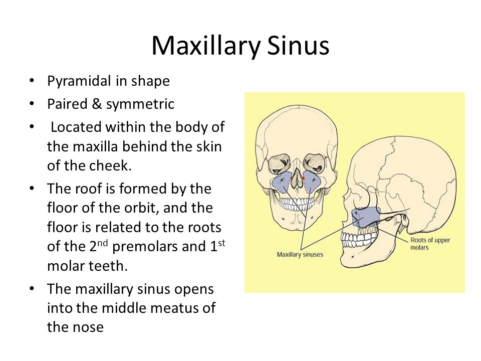 Maxillary Sinus Pyramidal in shape Paired & symmetric