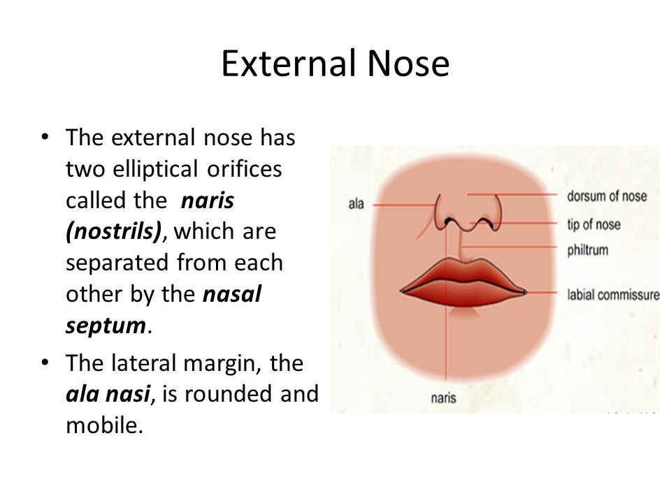 External Nose The external nose has two elliptical orifices called the naris (nostrils), which are separated from each other by the nasal septum.