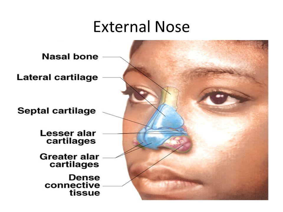 External anatomy of nose