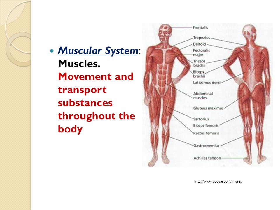Muscular System: Muscles