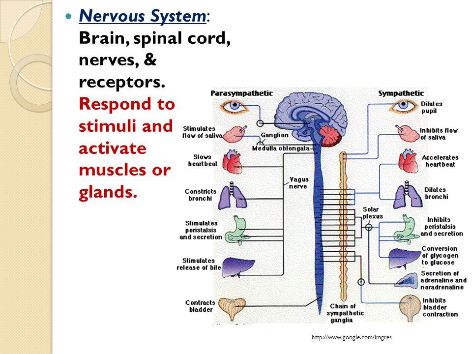 Nervous System: Brain, spinal cord, nerves, & receptors