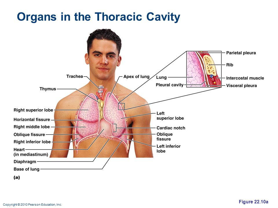 Organs in the Thoracic Cavity