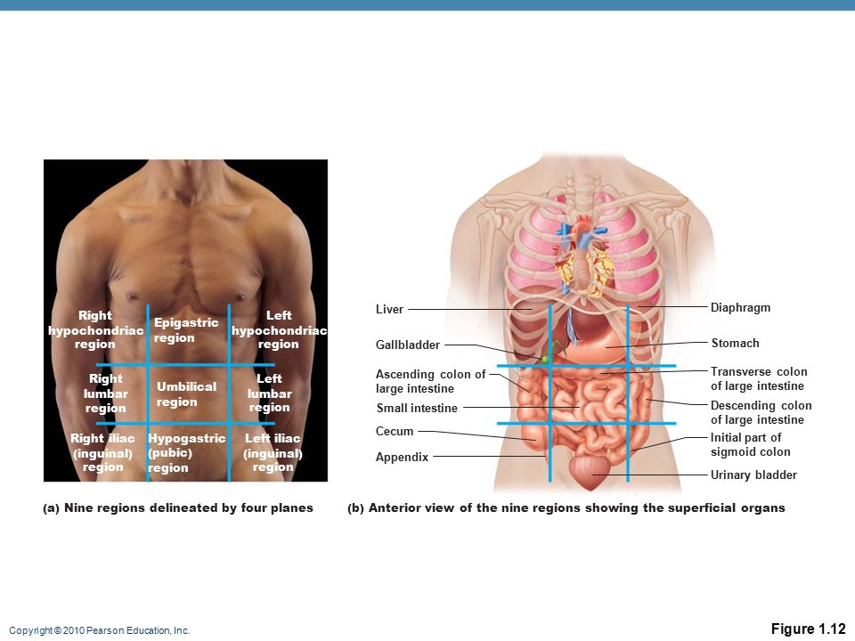Figure 1.12 Liver Diaphragm Right hypochondriac region Left
