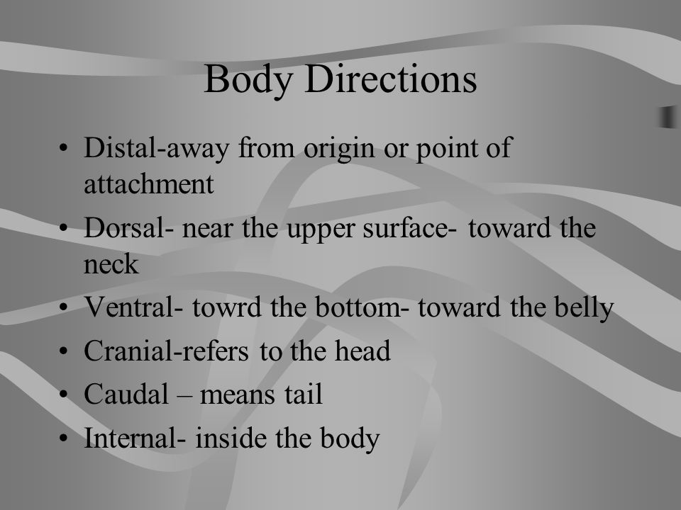 Body Directions Distal-away from origin or point of attachment