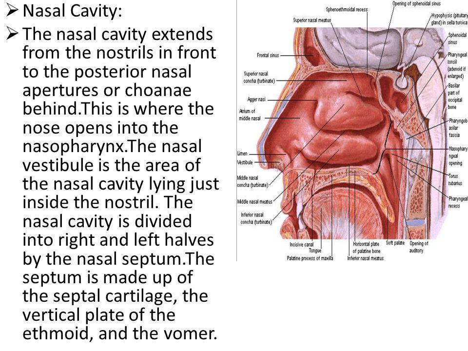 Nasal Cavity: