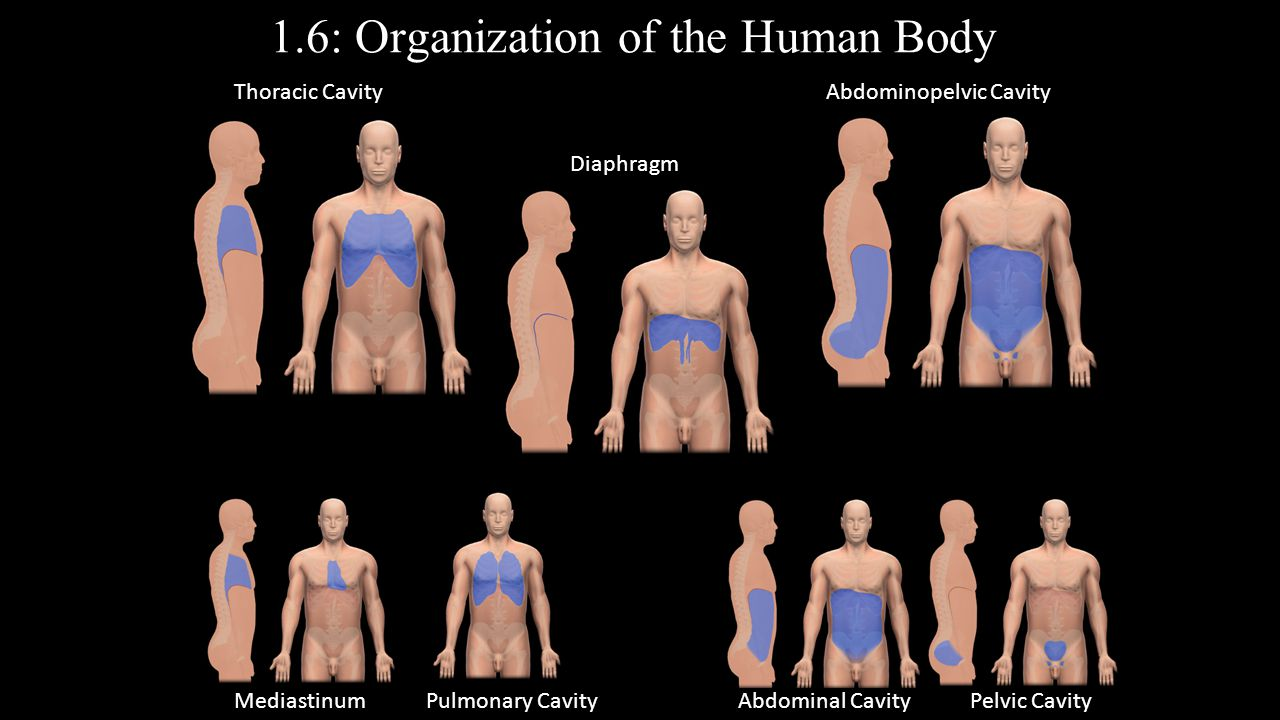 1.6: Organization of the Human Body
