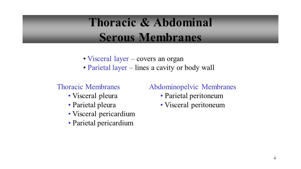 Thoracic & Abdominal Serous Membranes