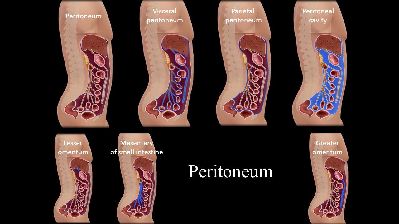 Peritoneum Visceral peritoneum Parietal peritoneum Peritoneal cavity