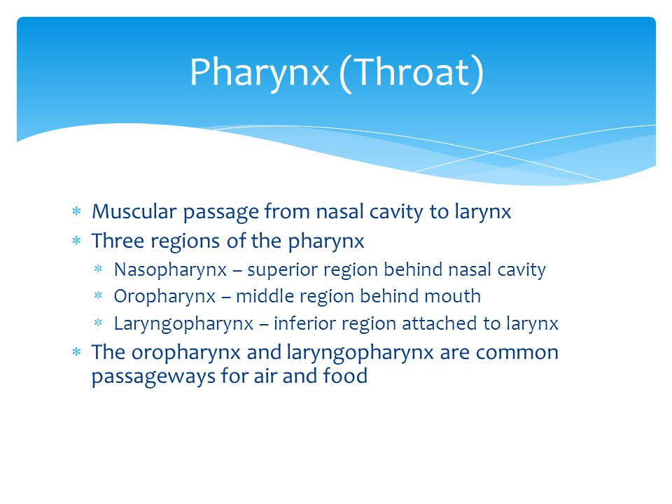 Pharynx (Throat) Muscular passage from nasal cavity to larynx