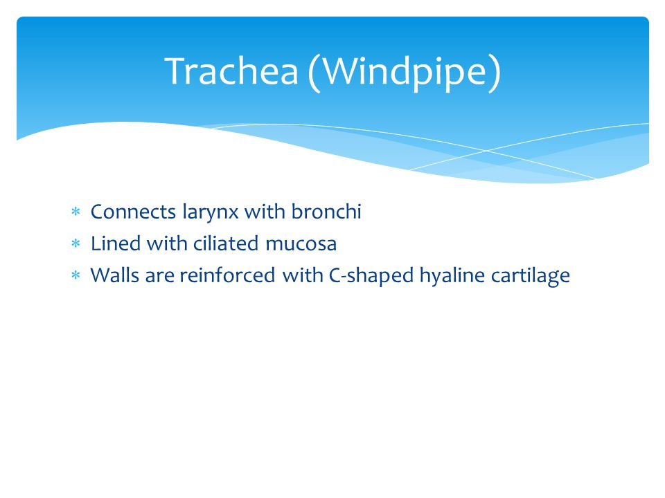 Trachea (Windpipe) Connects larynx with bronchi