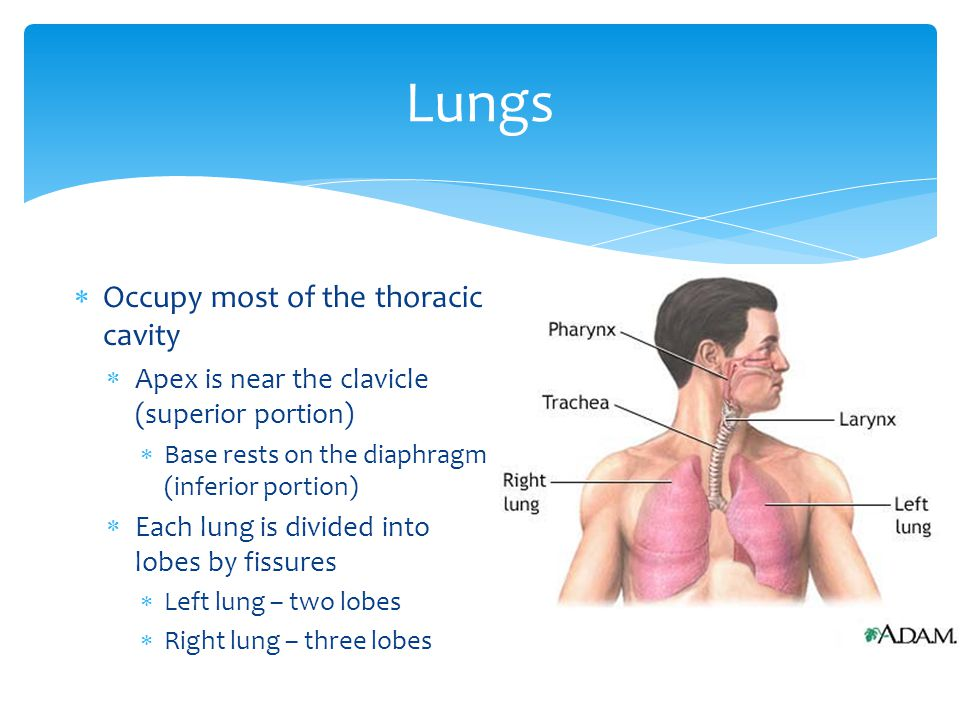 Lungs Occupy most of the thoracic cavity