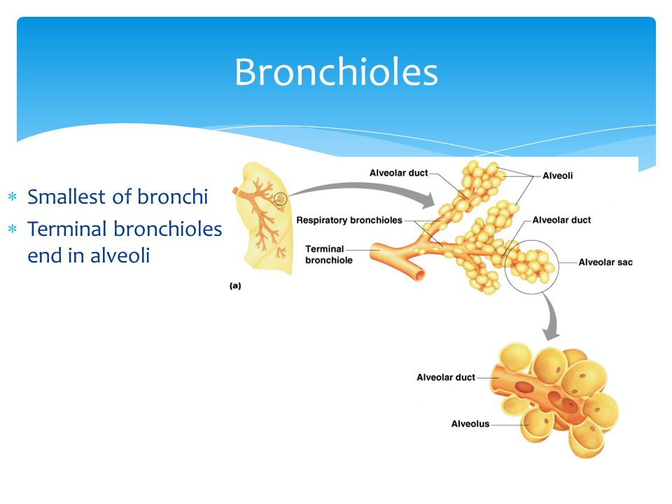 Bronchioles Smallest of bronchi Terminal bronchioles end in alveoli