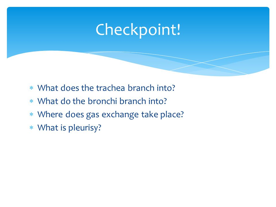 Checkpoint! What does the trachea branch into