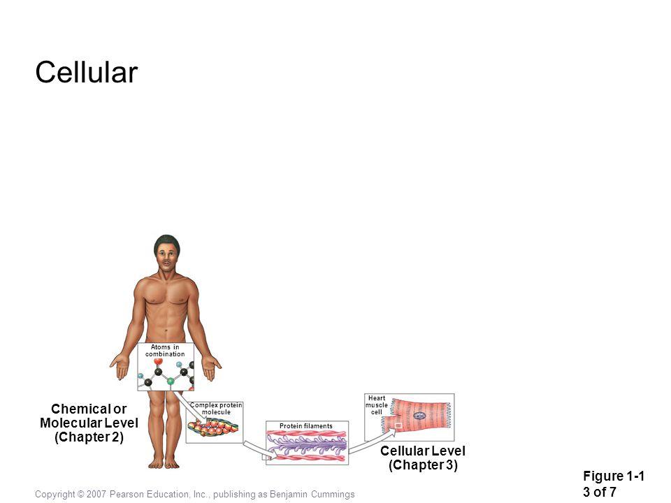 Cellular Chemical or Molecular Level (Chapter 2) Cellular Level