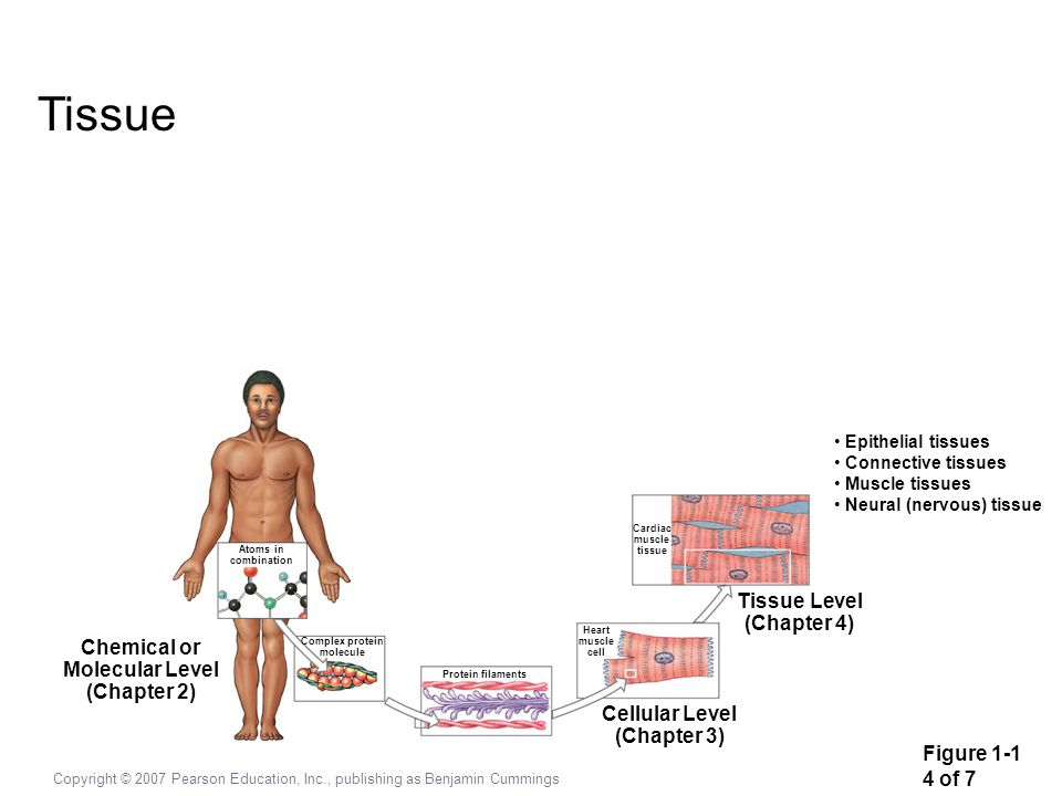 Tissue Tissue Level (Chapter 4) Chemical or Molecular Level