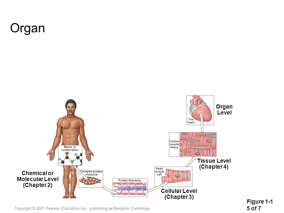 Organ Organ Level Tissue Level (Chapter 4) Chemical or Molecular Level