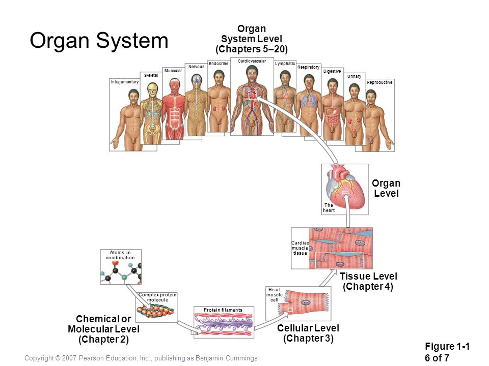 Organ System Organ System Level (Chapters 5–20) Organ Level