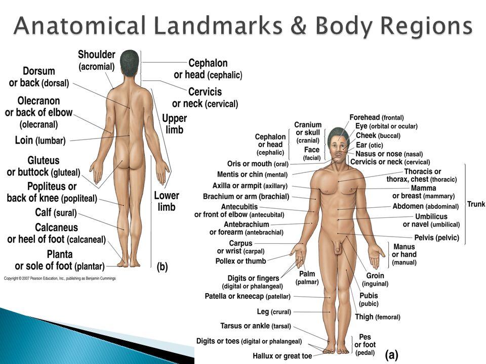 Anatomical Landmarks & Body Regions