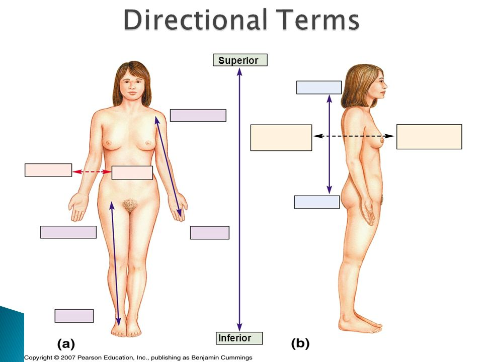 Directional Terms Superior Inferior