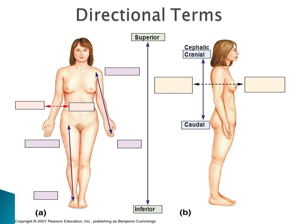 Directional Terms Superior Cephalic Cranial Caudal Inferior