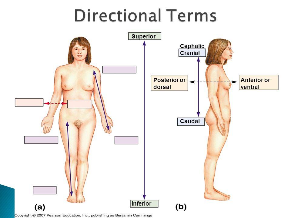 Directional Terms Superior Cephalic Cranial Posterior or dorsal