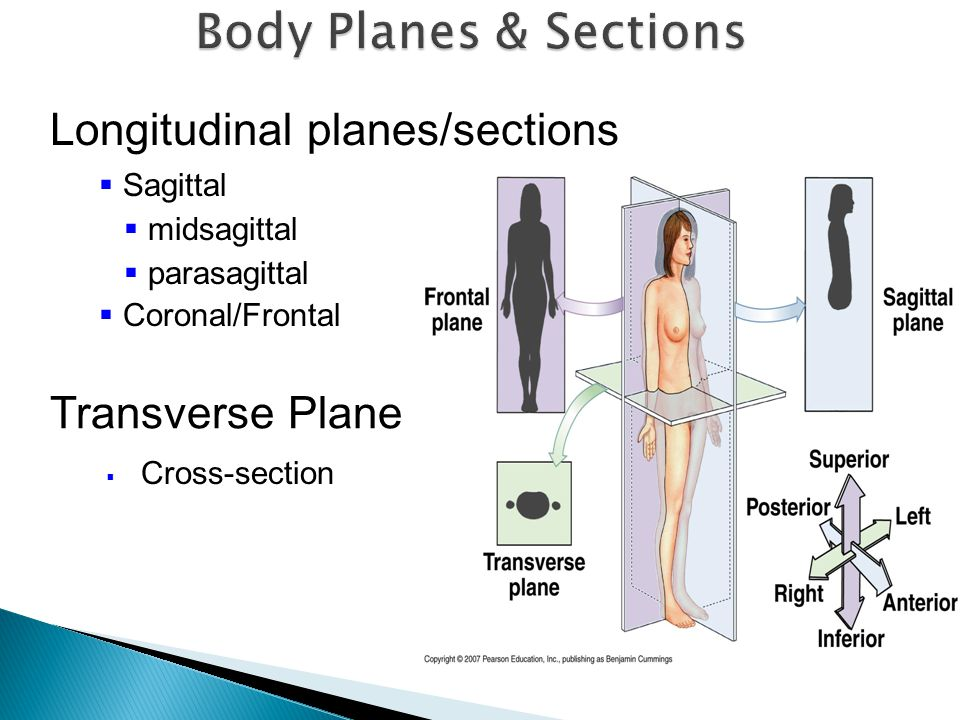 Body Planes & Sections Longitudinal planes/sections Transverse Plane